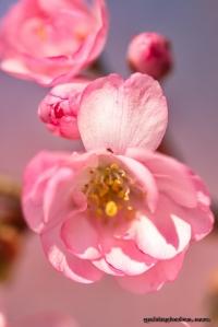 schöne Fotos, Bilder: Kirschbluete im Forstbotanischen Garten Koeln